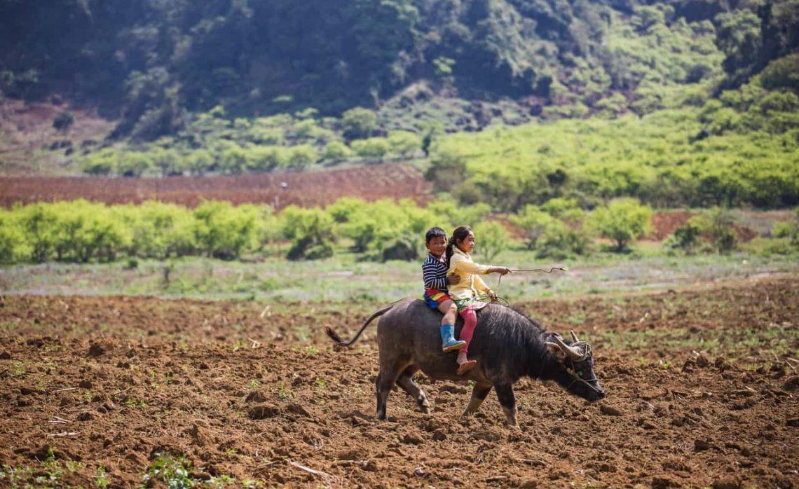 Kids riding water buffalo across a dirt field